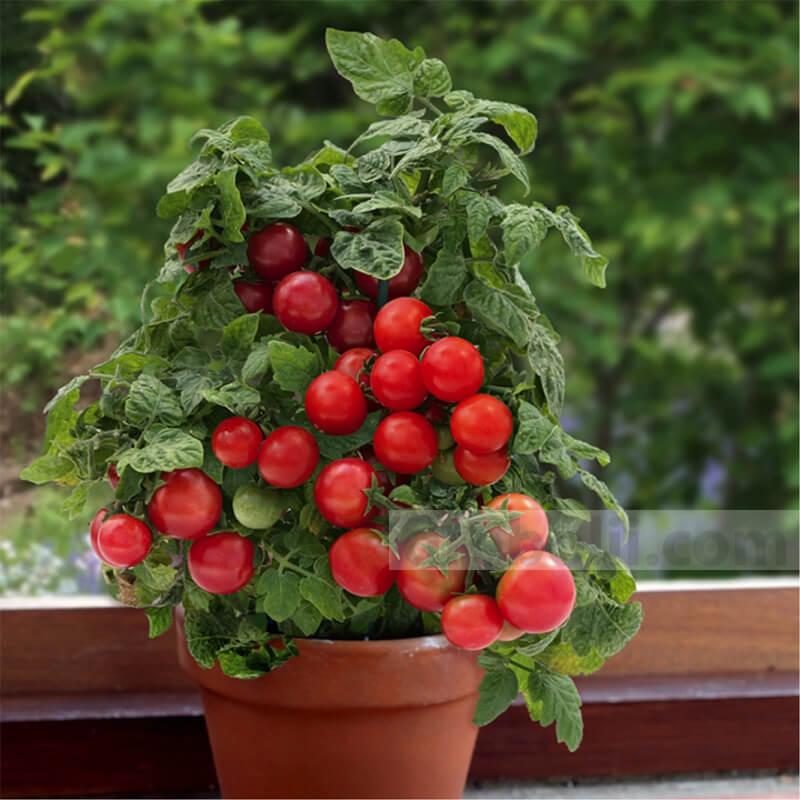 Балконски чери домати - семена